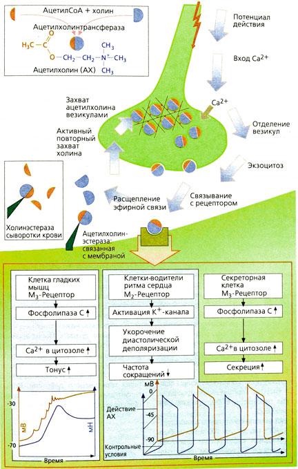 Ацетилхолин: высвобождение, действие, инактивация